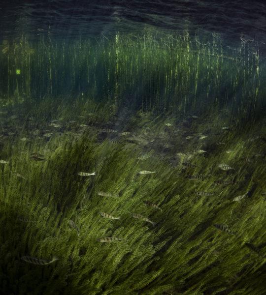 Perch, Waterscape #I